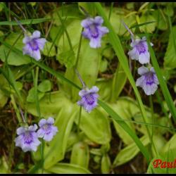 293 grassette a grandes fleurs pinguicula grandiflora lentibulariacée