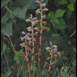 30 orobanche du gaillet orobanche caryophyllacea orobanchacee