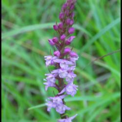 301 gymnadene odorante gymnadenia odoratissima orchidacée