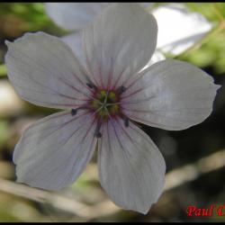302 lin a feuilles menues linum tenuifolium linacée