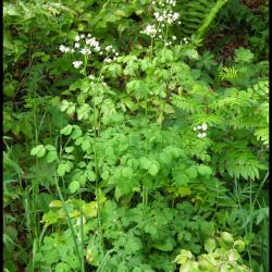 304 pigamon a feuilles d ancolie thalicrum aquilegiifolium ranunculacée