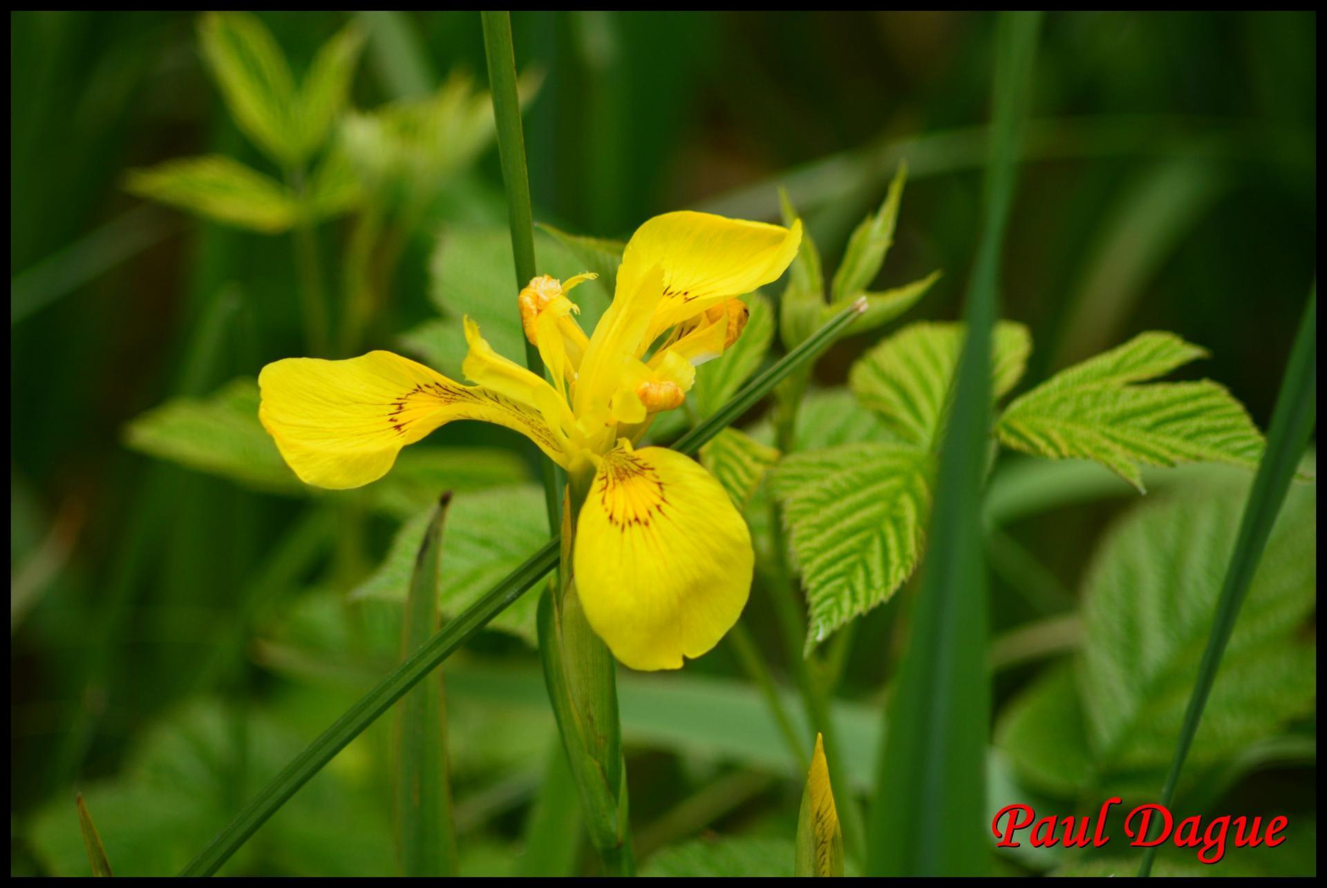 305 iris jaune iris pseudacorus iridacée