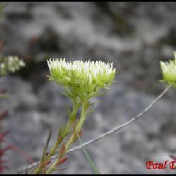 315 orpin des rocher sedum rupestre crassulacée
