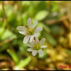 319 drave du printemps erophila verna brassicacée