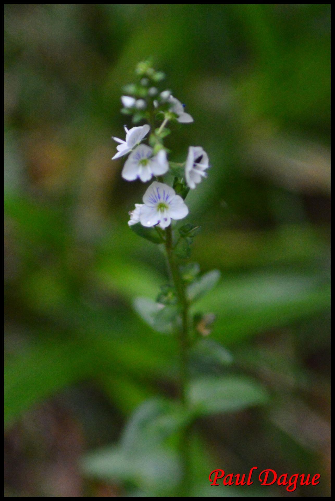 325 veronique a feuilles de serpolet veronica serpyllifolia scrophulariacée