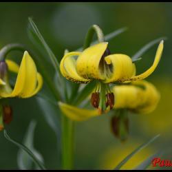 328 lis des pyrenees lilium pyrenaicum liliaceae