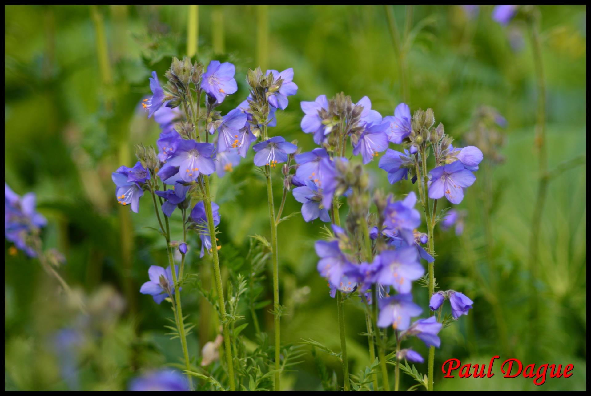 330 polemoine bleue polemonium caeruleum polemoniacée