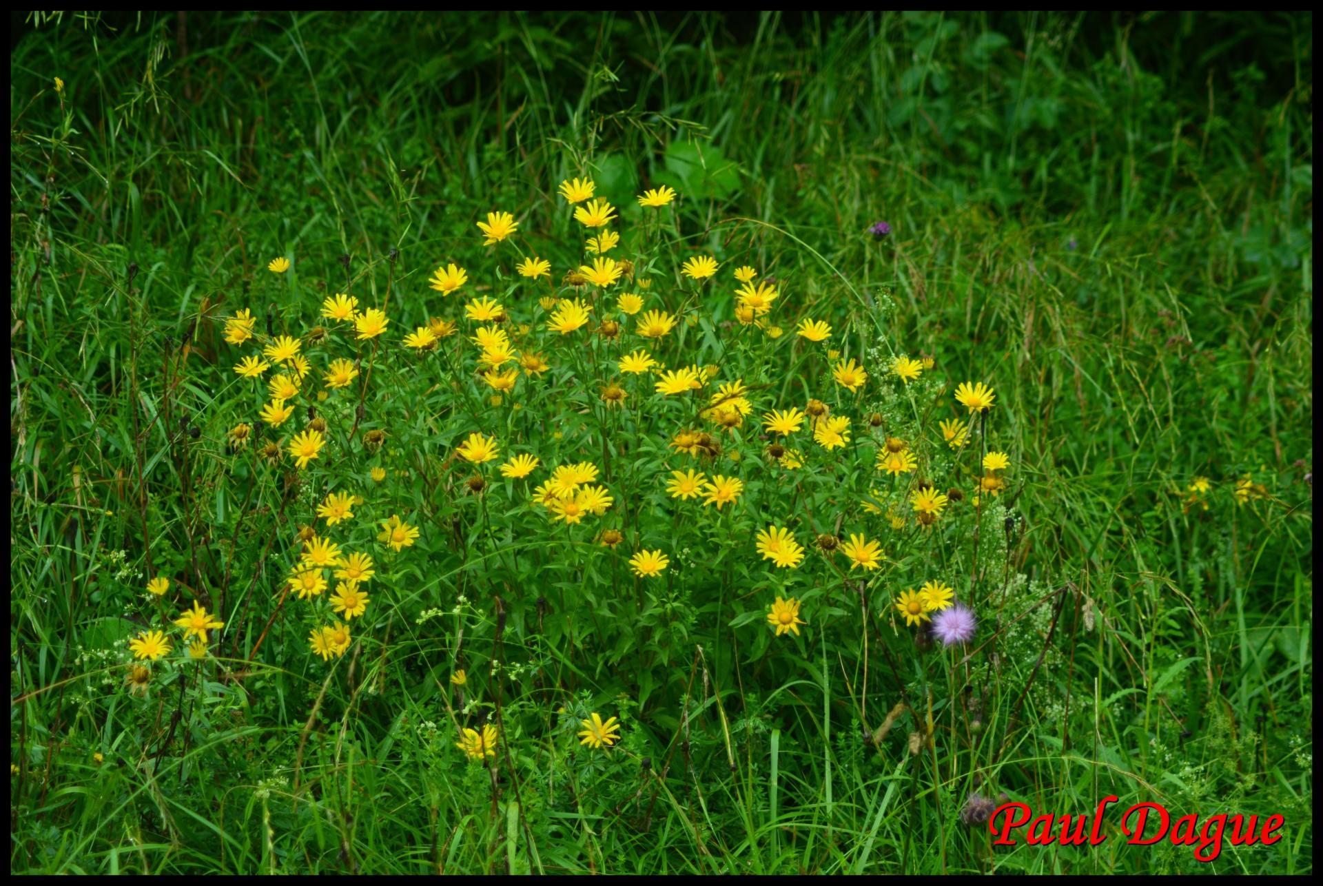 332 buphthalmum a feuilles de saule buphthalmum salicifolium asteraceae