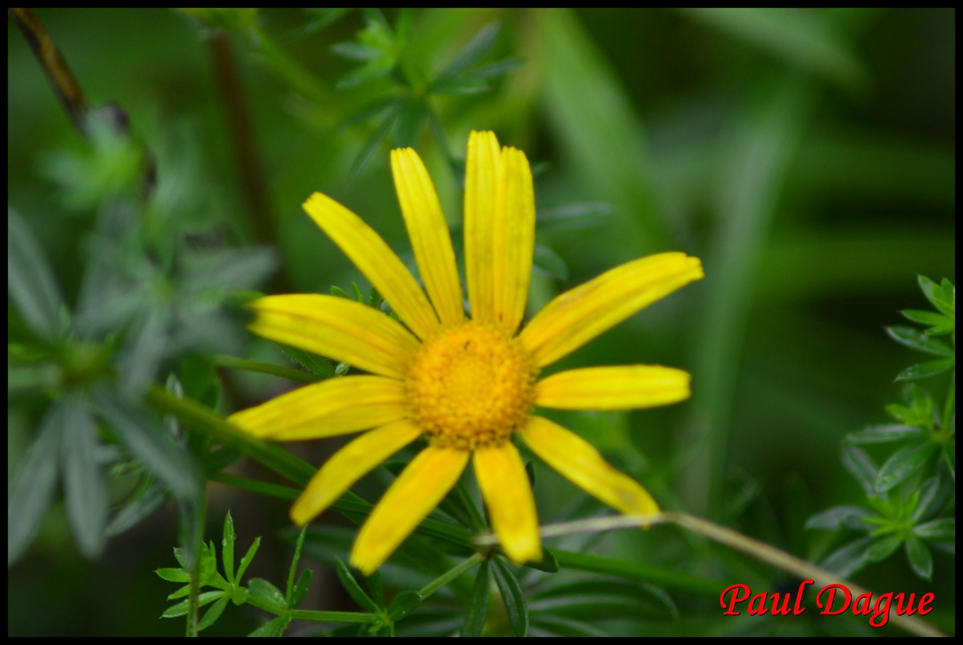 332 buphthalmum a feuilles de saule buphthalmm salicifolium asteracée