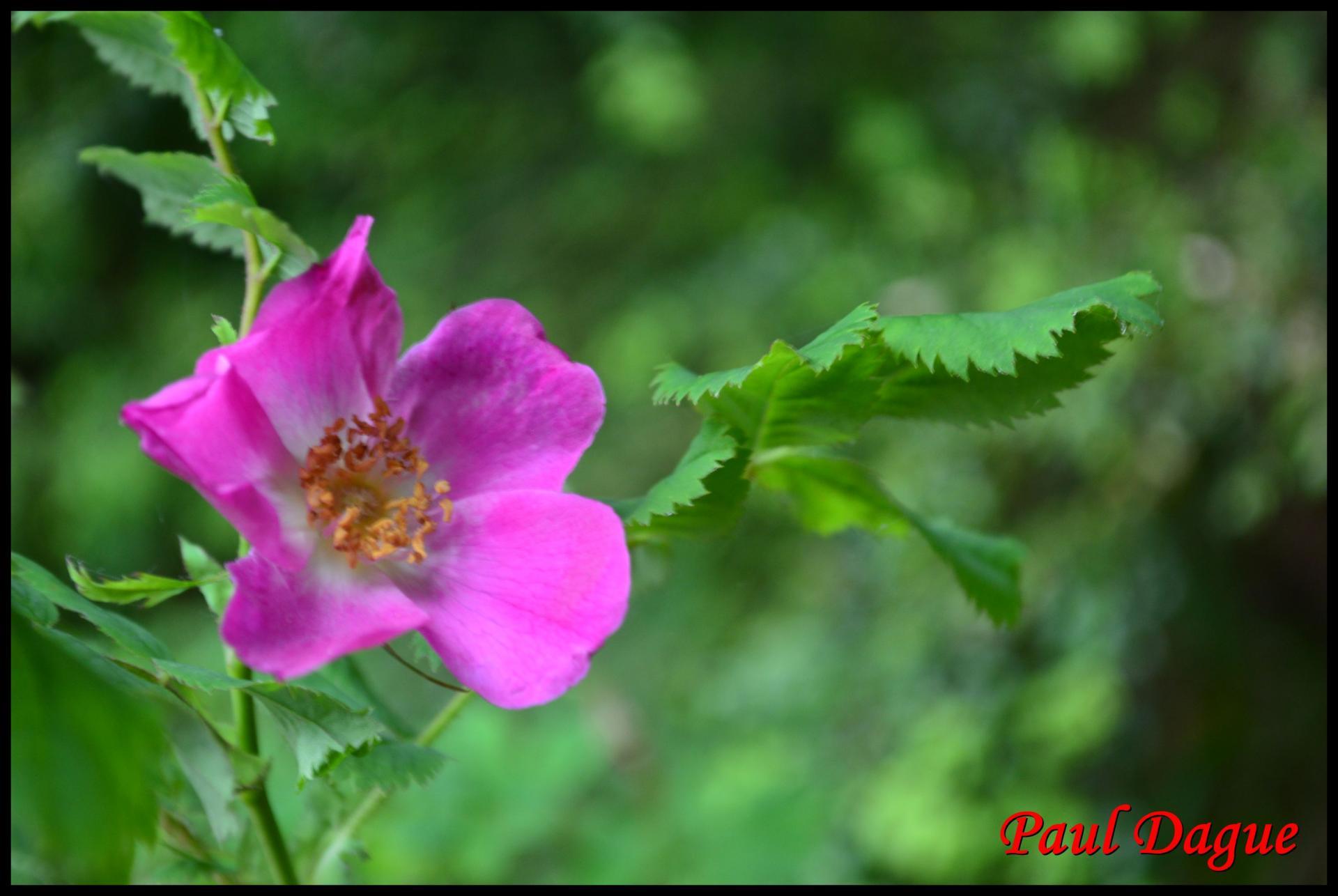 335 rosier des alpes rosa pendulina rosacée