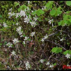 340 amelanchier a feuilles ovales amelanchier ovalis rosaceae