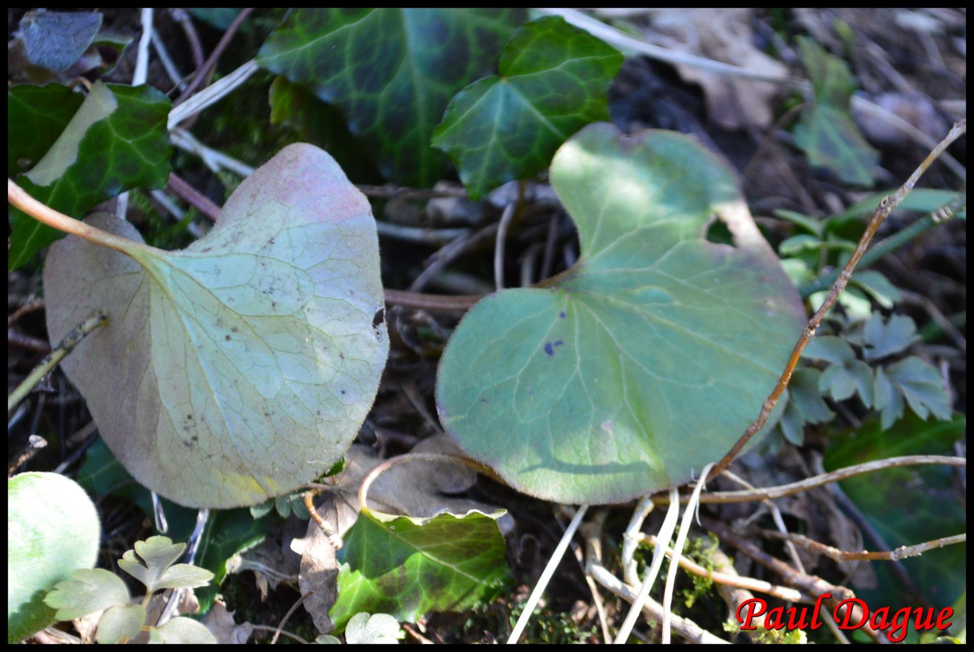 341 asaret d europe asarum europaeum aristolochiaceae resultat