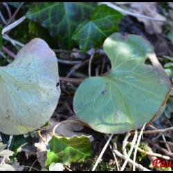341 asaret d europe asarum europaeum aristolochiaceae
