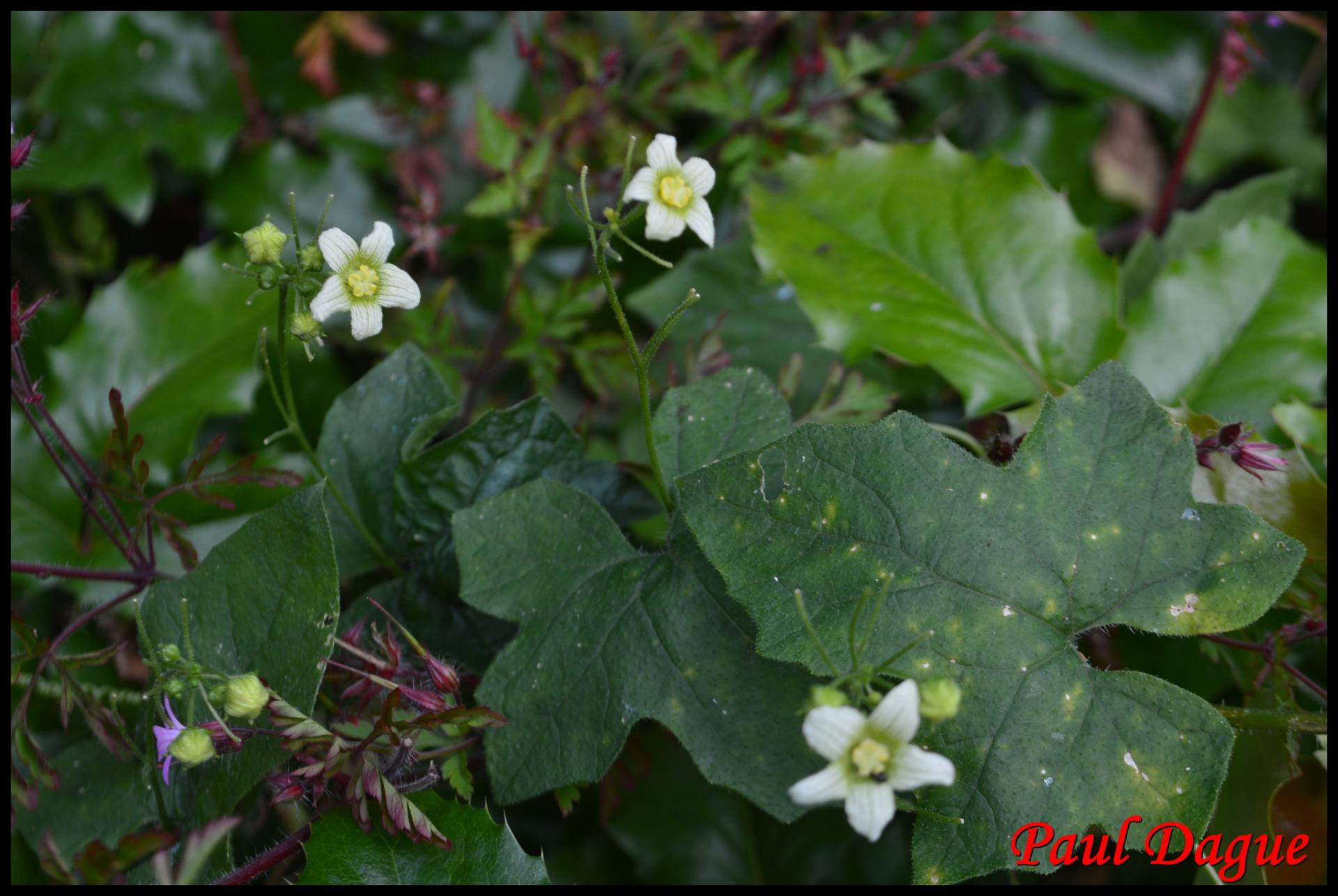 343 bryone dioique bryonia dioica cucurbitaceae 2 resultat