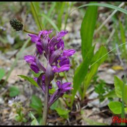 346 orchis de traunsteiner dactylorhiza trausteineri orchidaceae