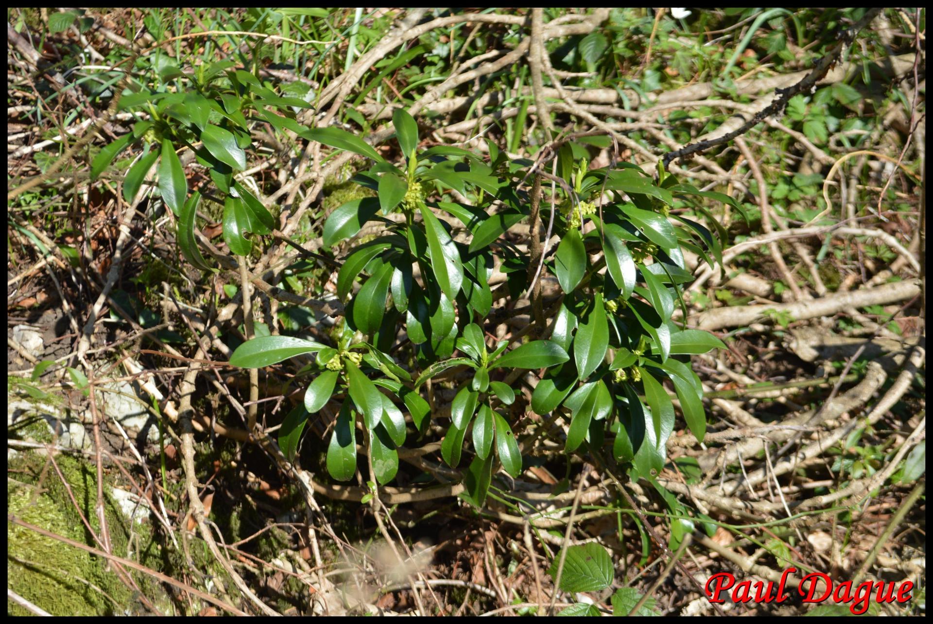 347 daphnee laureole daphne laureola thymelaeaceae resultat