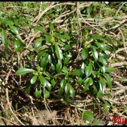 347 daphnee laureole daphne laureola thymelaeaceae