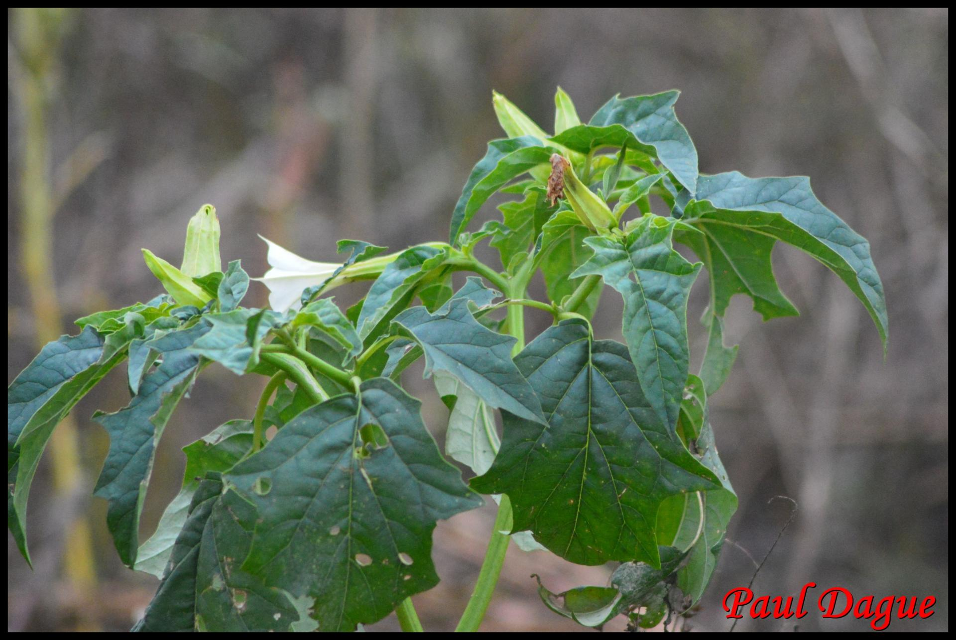 348 pomme epineuse datura stramonium solanaceae