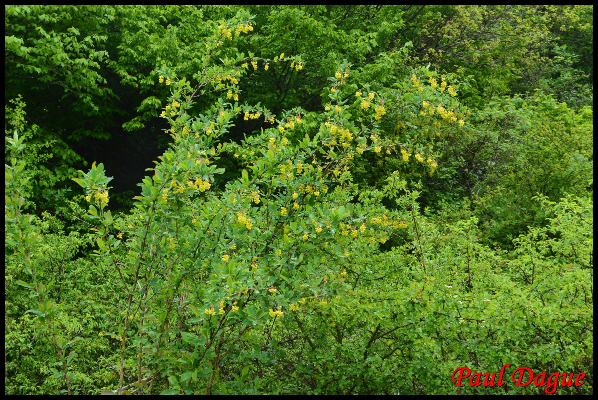 349 epine vinette berberis vulgaris berberidaceae