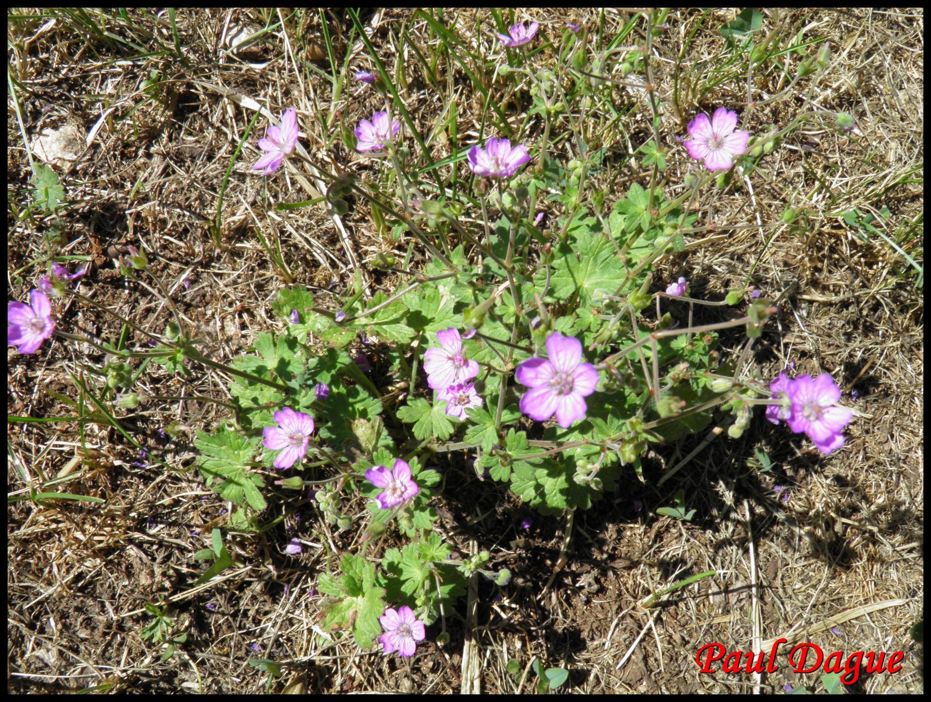 35 geranium a feuilles molles geranium molle geraniacee