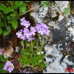350 erine des alpes erinus alpinus scrophulariaceae