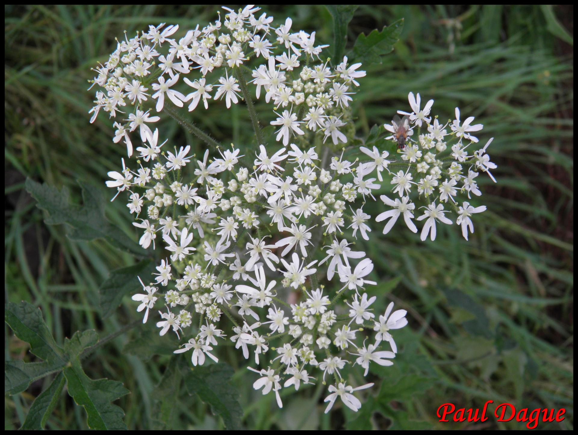 352 berce des pres heracleum sphondylium apiaceae resultat