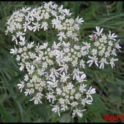 352 berce des pres heracleum sphondylium apiaceae