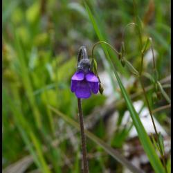 356 grassette commune pinguicula vulgaris lentibulariaceae