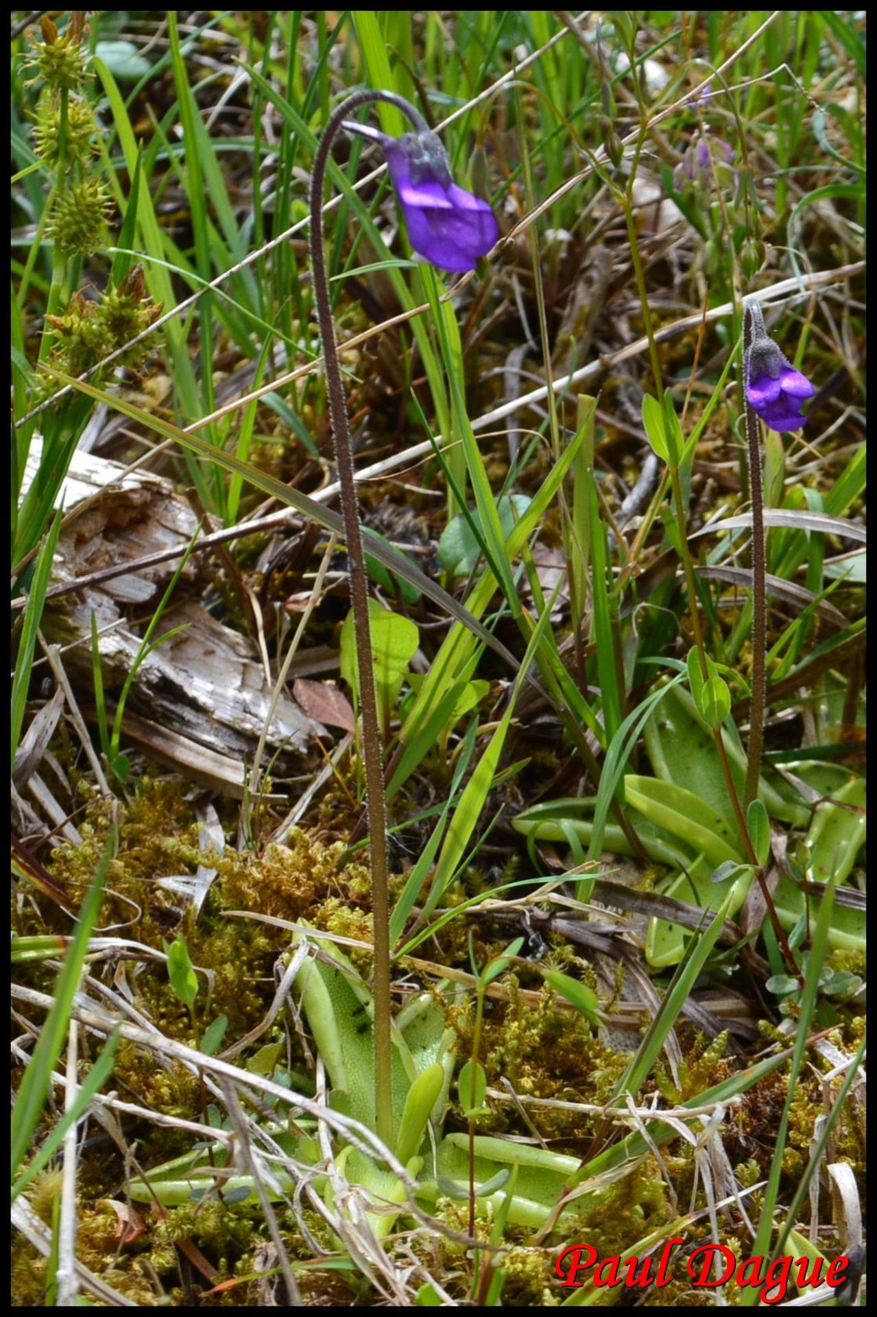 356 grassette commune pinguicula vulgaris lentibulariaceae 3 resultat