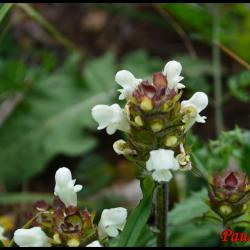357 brunelle blanche prunella laciniata lamiaceae