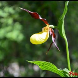 358 sabot de venus cypripedium calceolus orchidaceae