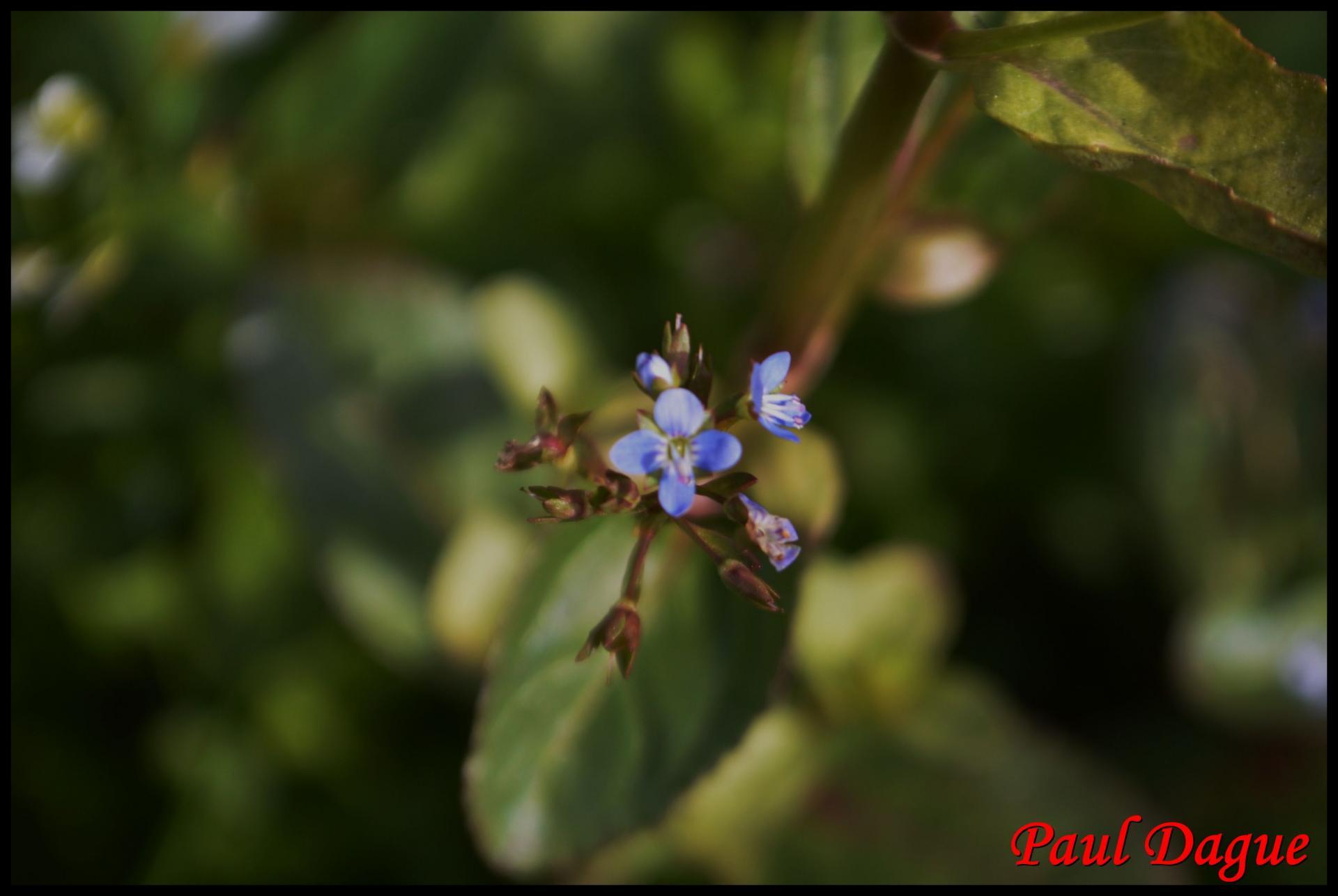 359 salade de chouette veronica beccabunga scrophulariaceae 5 resultat