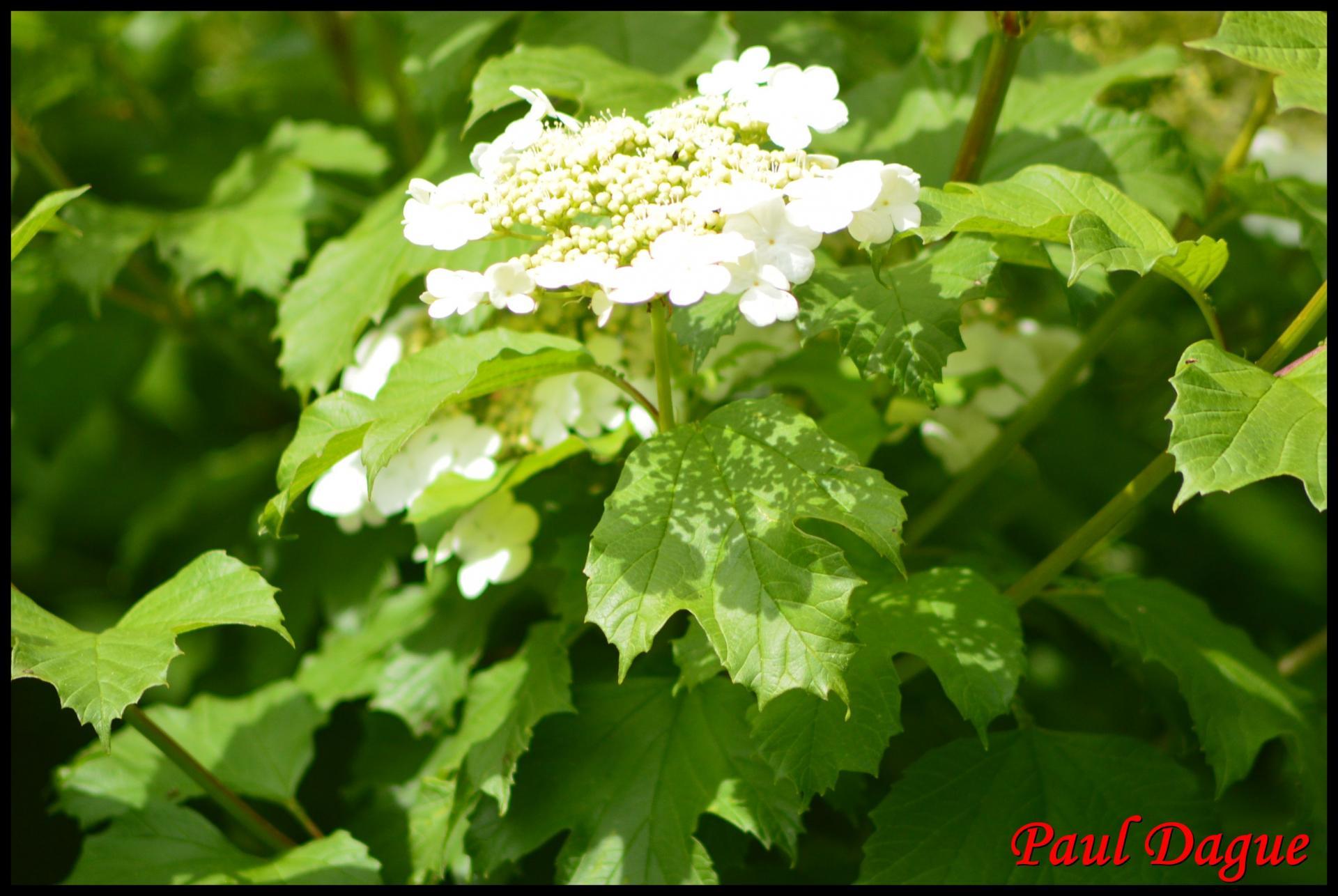 361 boule de neige viburnum opulus caprifoliaceae 2 resultat