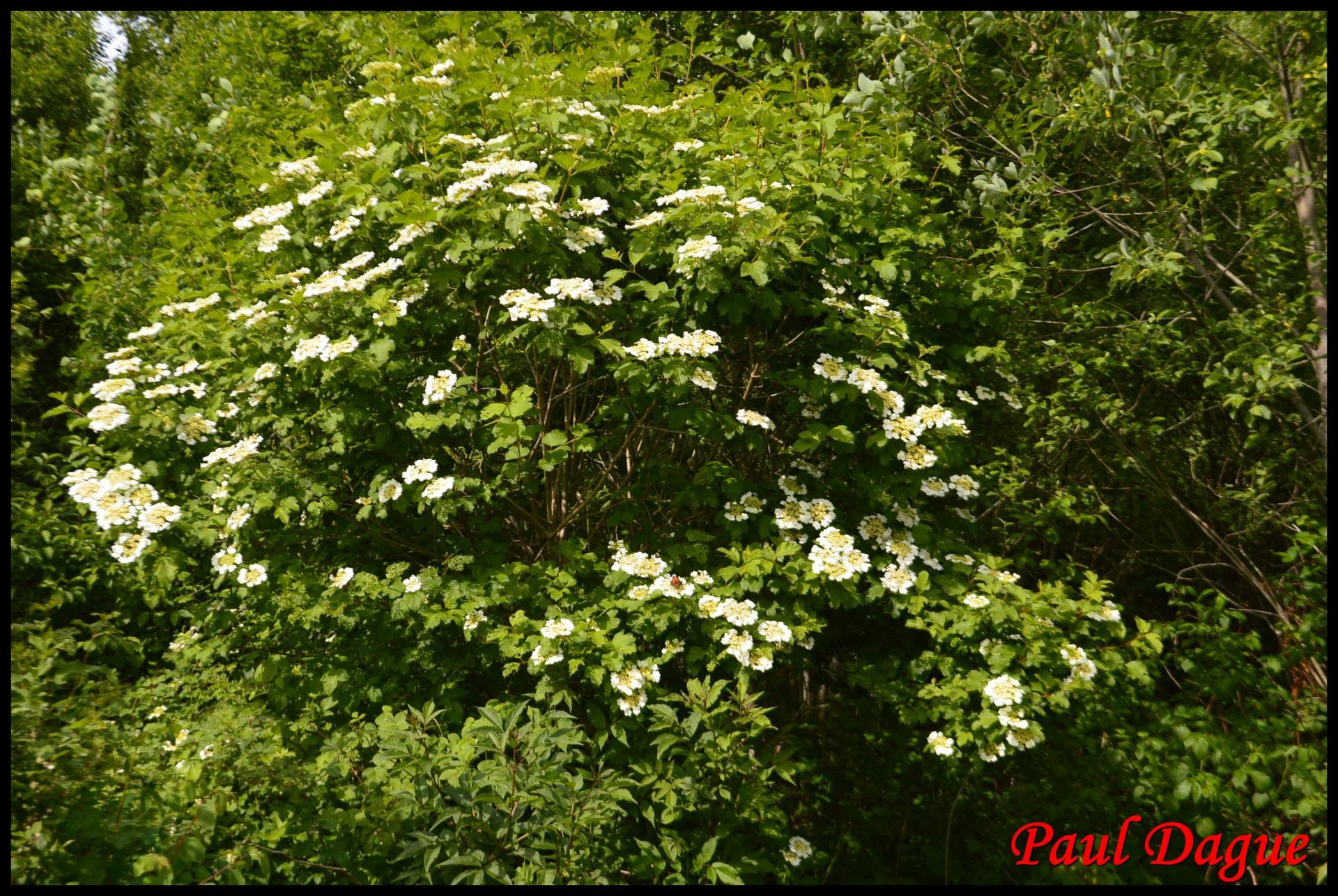 361 boule de neige viburnum opulus caprifoliaceae