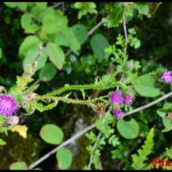 362 chardon crepu carduus crispus asteraceae