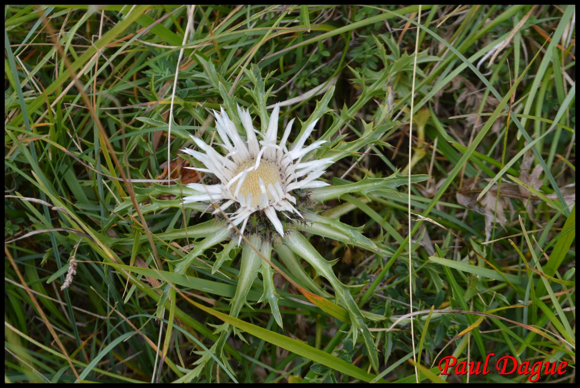 363 carline elevee carlina acaulis asteraceae 2 resultat