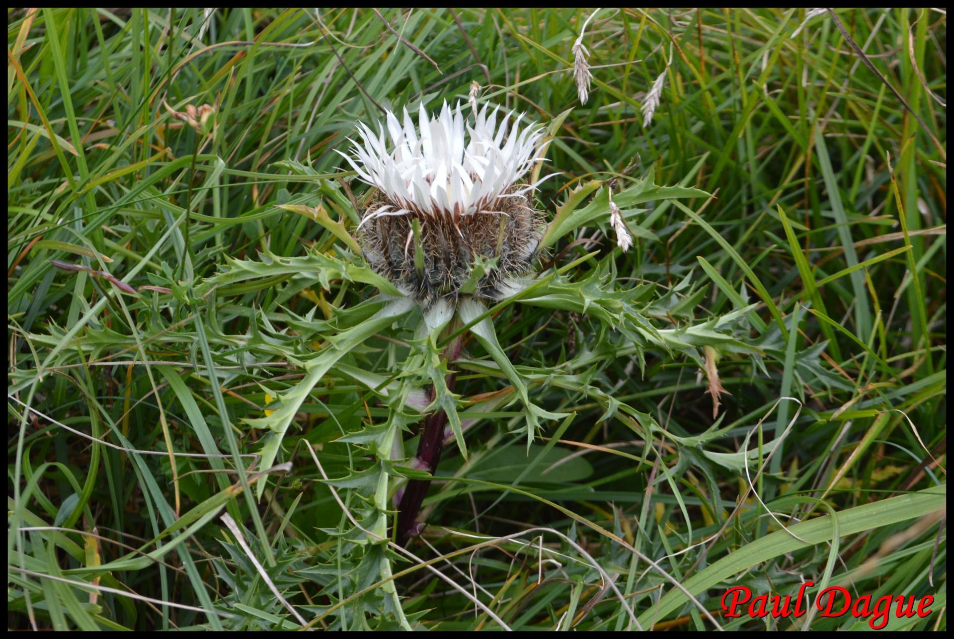 363 carline elevee carlina acaulis asteraceae