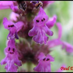 38 epiaire officinale stachys officinalis lamiacee