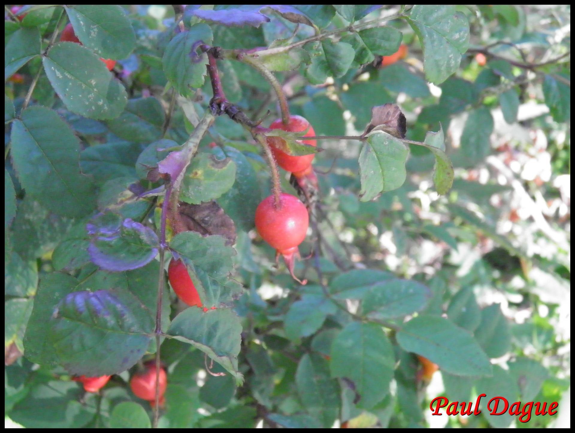 39 eglantine rosier des chiens rosa canina rosacee