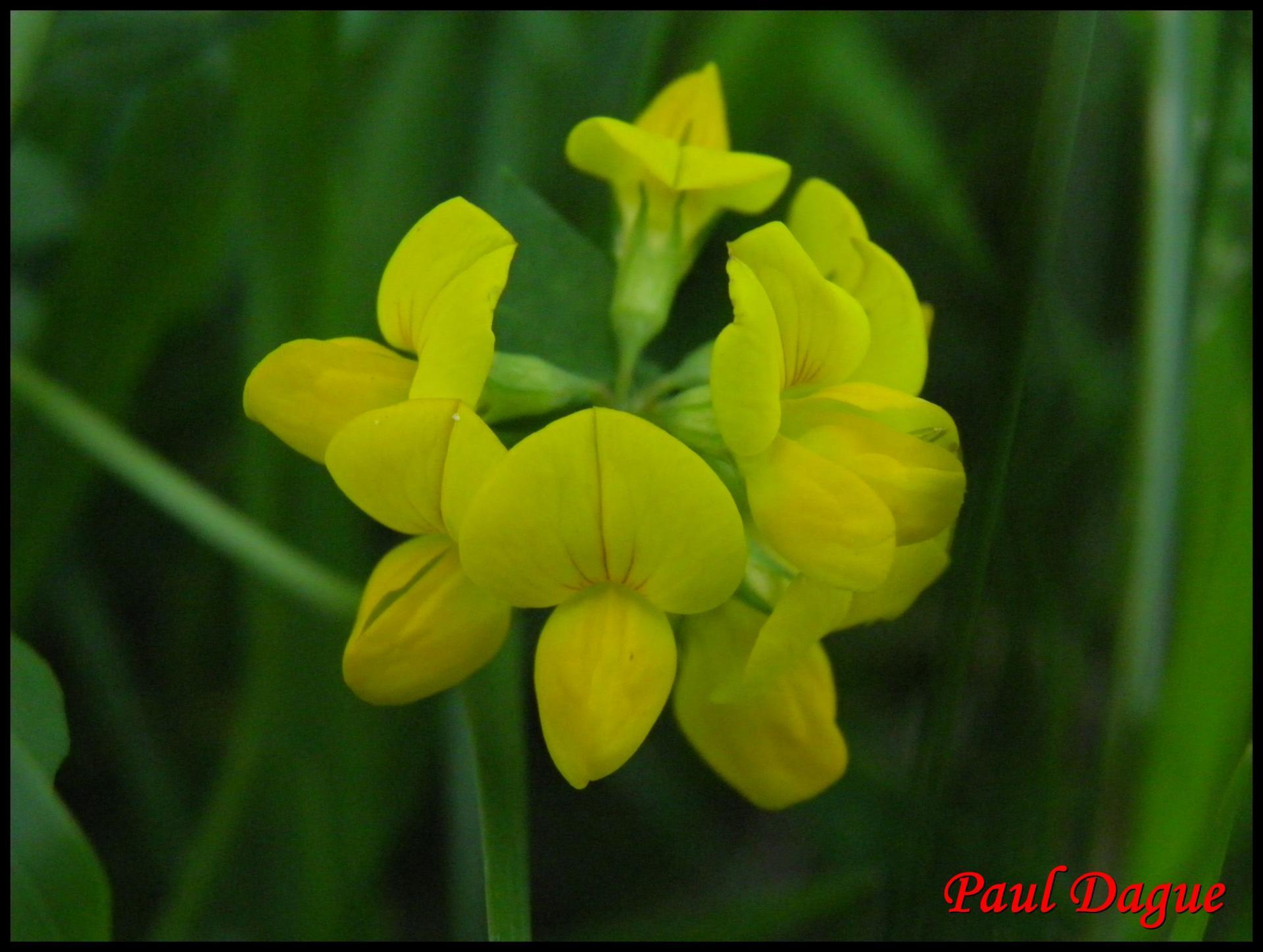 4 lotier cornicule lotus corniculatus fabacee