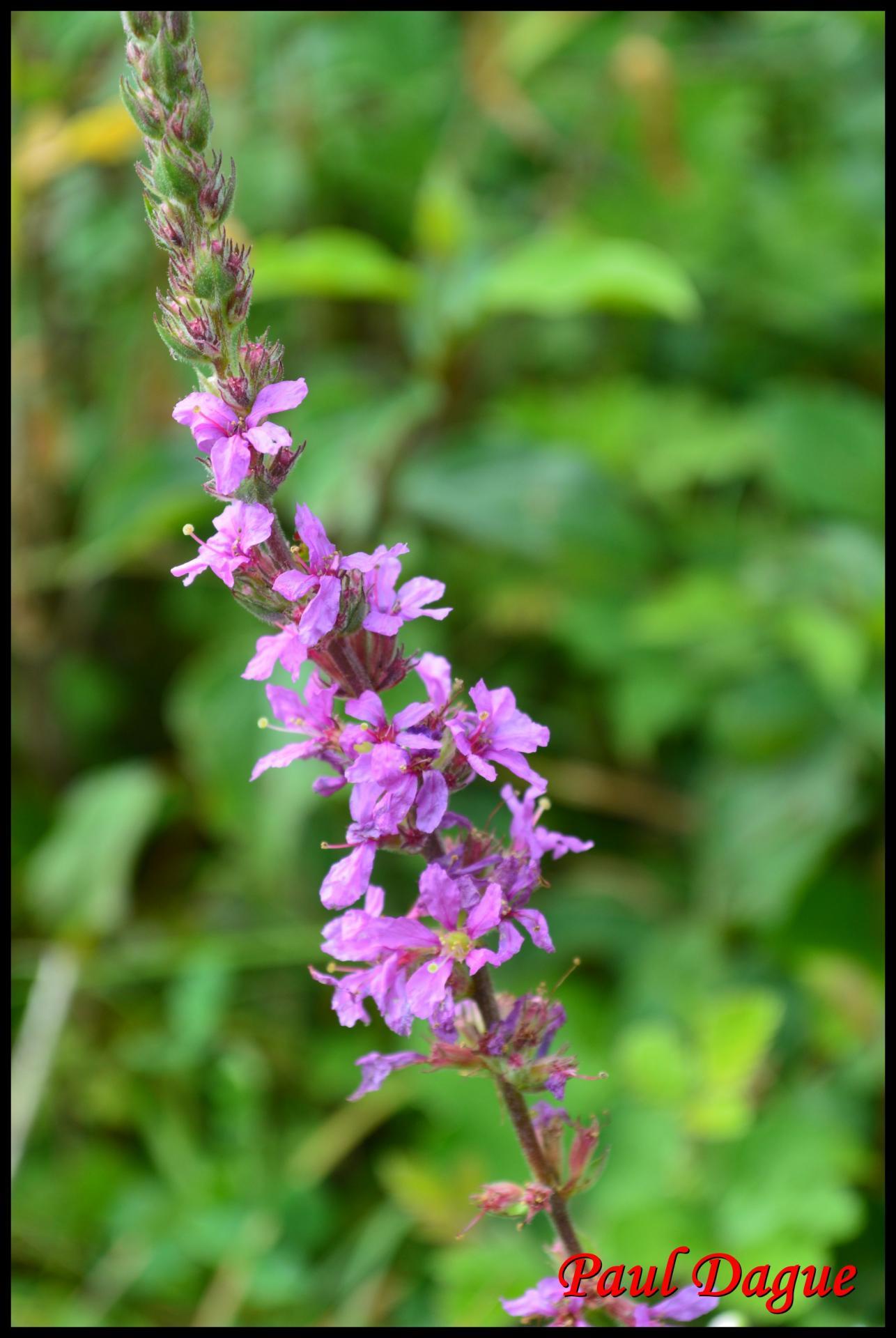 46 salicaire commune lytrum salicaria lythracee 6 resultat