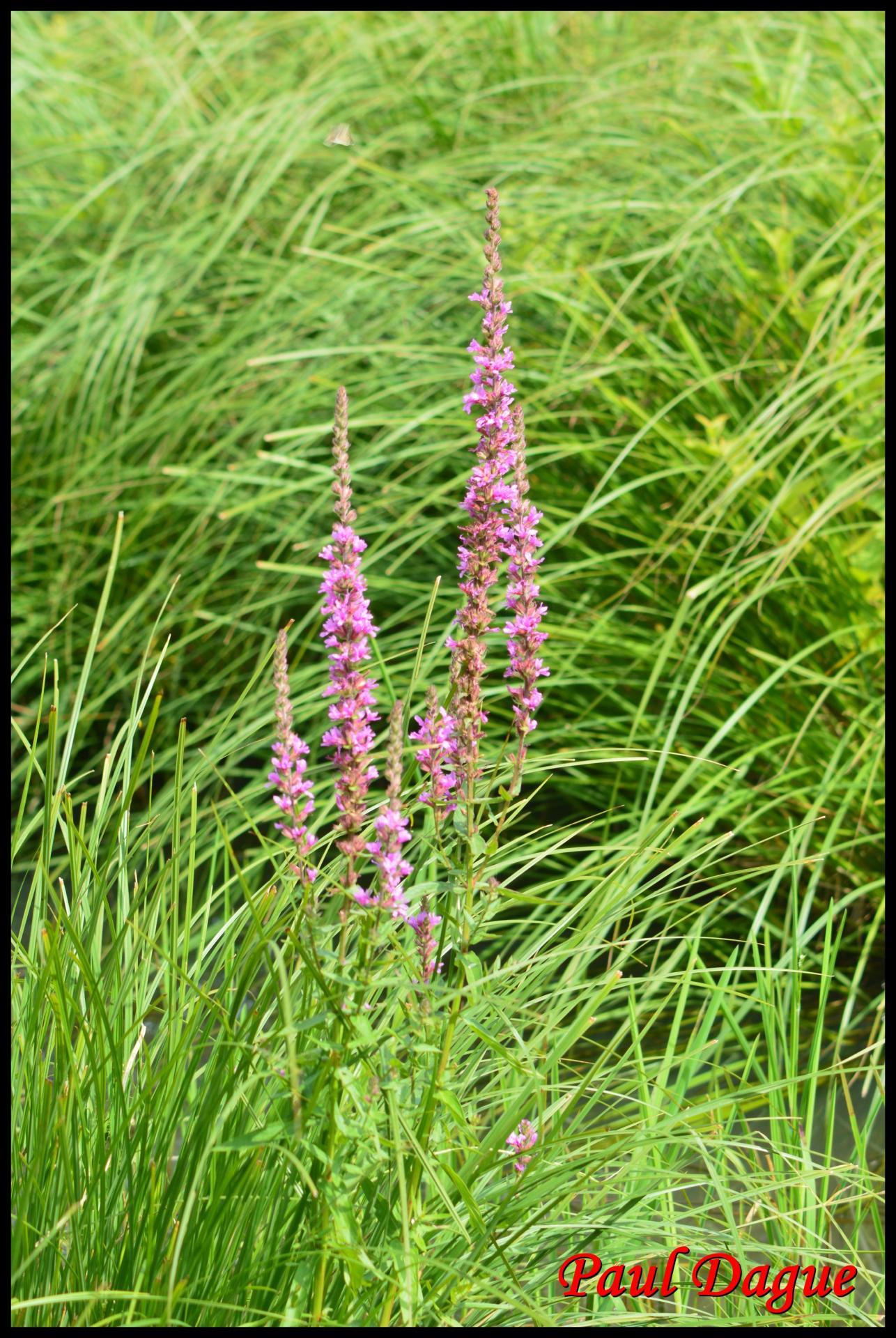 46 salicaire commune lytrum salicaria lythracee