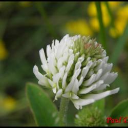 48 trefle des montagnes trifolium montanum fabacée