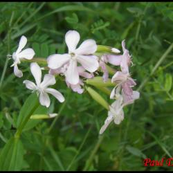 49 saponaire officinale saponaria officinalis caryophyllacee