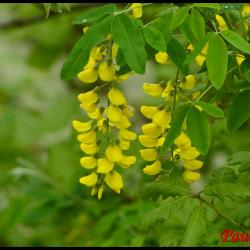 5 cytise laburnum anagiroïdes fabacee