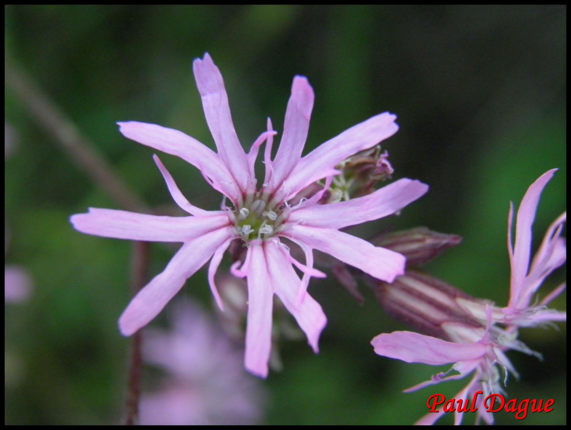 53 silene fleur de coucou silene flos cuculi caryophyllacée