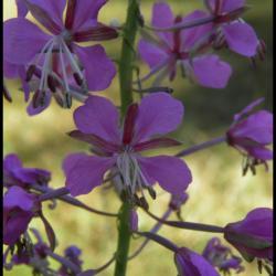 55 laurier de st antoine epilobium augustifolium onagracee