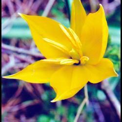 6 tulipe sauvage tulipa sylvestris liliacee