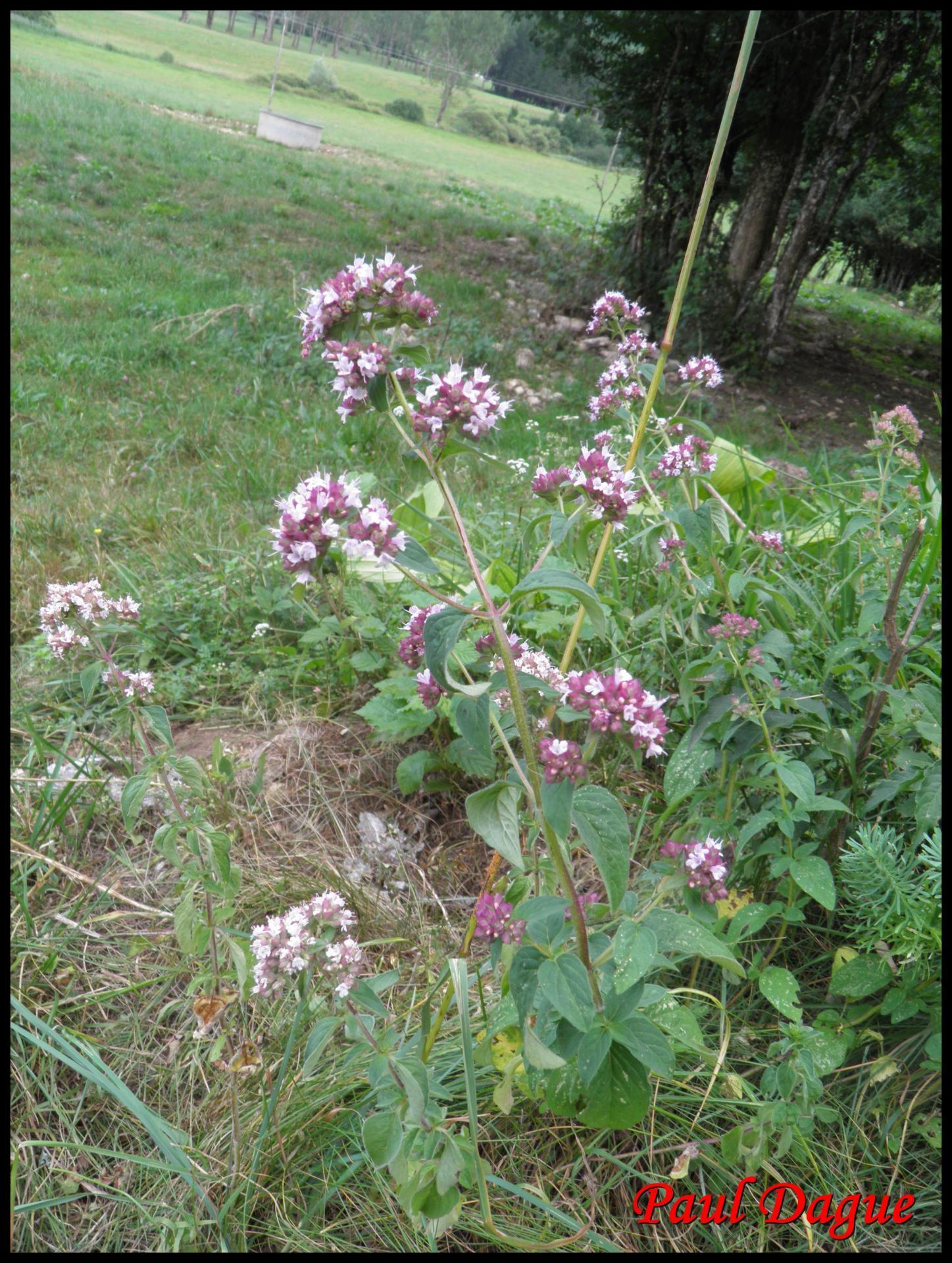 60 marjolaine sauvage origan vulgaire origanum vulgare lamiacee