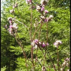 62 cirse des marais cirsium palustre asteracee